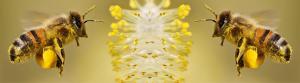 Bijenpollen en stuifmeelkorrels